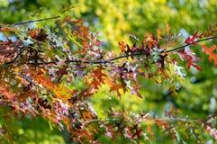 Quercus coccinea red leaves during autumn season, ornamental tree. Seasonal color Royalty Free Stock Photo