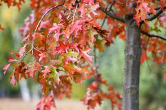 Free Quercus Coccinea Red Leaves During Autumn Season, Ornamental Tree Stock Images - 109739714