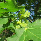 Quercus, fiori verdi di una quercia Fotografie Stock Libere da Diritti