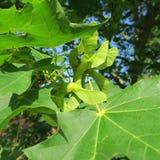 Quercus, fleurs vertes d'un chêne Photos libres de droits