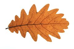 Quercus frainetto Hungarian oak. Hungarian oak (Quercus frainetto) - leaf in autumn colors isolated against white background Stock Photos