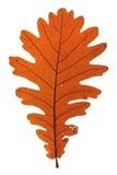 Quercus frainetto Hungarian oak Royalty Free Stock Photos