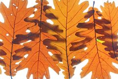 Quercus frainetto Hungarian oak Stock Photos
