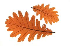 Quercus frainetto Hungarian oak. Hungarian oak (Quercus frainetto) - two leaves in autumn colors isolated against white background Royalty Free Stock Photo