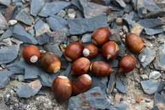 Quercus glauca seeds. Quercus glauca the junction of nuts contains rich starch, protein and other nutrients, such as many mammals ── Formosan black bear's Stock Image