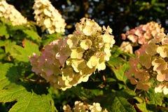 Quercus Hydrangea hortensia stock foto
