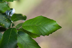 Quercus ilex. Leaf of Quercus ilex on blurred background royalty free stock photography