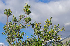 Quercus ilex, the Holm oak or Holly oak. Twigs with acorns from a young Holm oak tree Stock Images
