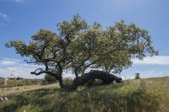 Quercus ilex tree. View of quercus ilex tree landscape in Alentejo Stock Photos