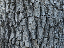 Quercus Oak Bark Close up Royalty Free Stock Images