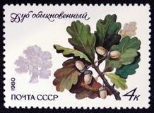 Quercus ordinario robur della quercia, gli alberi protetti del ` di serie e ` degli arbusti, circa 1980 Immagini Stock