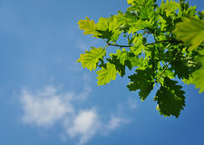 Quercus Petraea nature. Tree leaves and summer blue sky royalty free stock images