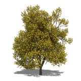 Quercus robur (autumn) Royalty Free Stock Image