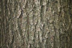 Quercus robur bark. Textured surface of Quercus robur bark Royalty Free Stock Photos