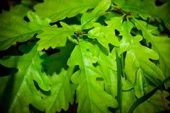 Quercus robur. Big detail leaves Royalty Free Stock Photos