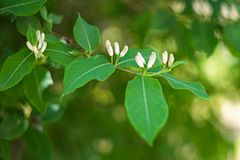 Quercus robur branch with leaves is close. Up Stock Image
