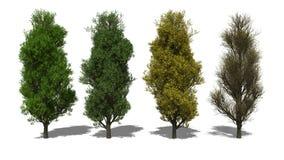 Quercus robur «Fastigiata» (Four Seasons) Στοκ Εικόνες
