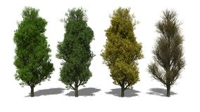 Quercus robur 'Fastigiata' (Four Seasons) Stock Images
