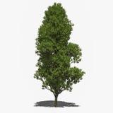 Quercus robur 'Fastigiata' (summer). 3D computer rendered illustration Quercus robur 'Fastigiata' summer Royalty Free Stock Photography