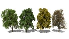 Quercus robur (Four Seasons) Απεικόνιση αποθεμάτων
