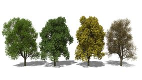 Quercus robur (Four Seasons). 3D computer rendered illustration Quercus robur Four Seasons Stock Photos