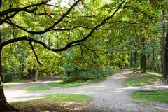 Quercus robur, Oak Royalty Free Stock Photo