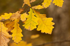 Quercus robur, Oak. Phenological manifestations of autumn in city park Royalty Free Stock Image