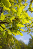 Quercus robur, Oak. In a green spring Royalty Free Stock Image