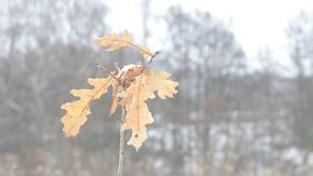 Quercus robur. Small common oak tree blown by wind stock video footage