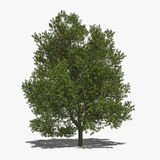 Quercus robur (summer) Stock Photo