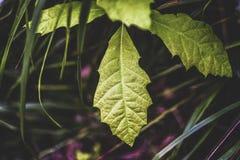 Quercus robur tree leaf vintage colored. Quercus robur tree leaf vintage colored Royalty Free Stock Images
