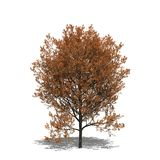 Quercus rubra (autumn) Stock Photography