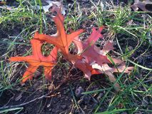 Quercus Rubra Branch with Red Leaves on the Ground in Early Winter. Stock Photos