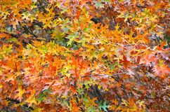 Quercus rubra canadian oak at autumn. Leaves of quercus rubra canadian oak tree at autumn stock image
