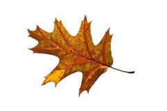 Quercus rubra czerwonego dębu liść backlit i odizolowywający Obrazy Royalty Free