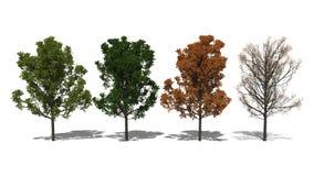 Quercus rubra (Four Seasons). 3D computer rendered illustration Quercus rubra Four Seasons Royalty Free Stock Photo