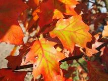 Quercus rubra leaf Stock Photo
