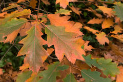 Quercus Rubra Leaves turning brown in the Fall Stock Photography
