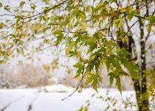 Quercus rubra - ramo della quercia rossa con le foglie e la neve Immagine Stock Libera da Diritti