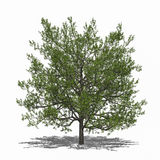 Quercus rubra (summer) Royalty Free Stock Images