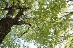 Free Quercus Serrata Bark And Leaves Royalty Free Stock Photo - 180657505