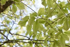 Free Quercus Serrata Bark And Leaves Stock Images - 180657514