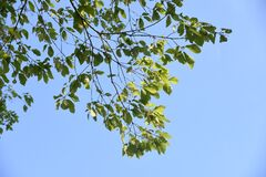 Free Quercus Serrata Bark And Leaves Stock Photo - 180657570
