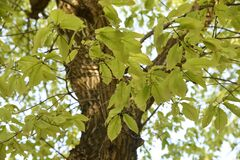 Free Quercus Serrata Bark And Leaves Stock Photo - 180657630