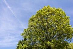 Quercus serrata tree Royalty Free Stock Photo