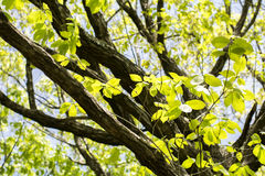 Quercus serrata tree. Trunk and fresh green leaves stock image