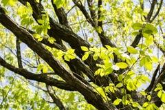 Quercus serrata tree Stock Image