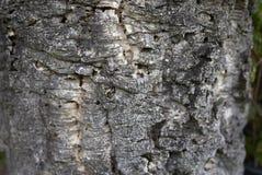 Quercus suber στενός επάνω Στοκ Εικόνες