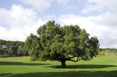 Quercus suber Stock Photography