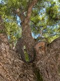 Cork Oak tree, downtown Napa. Quercus suber, Cork Oak Tree, Napa, California stock photos